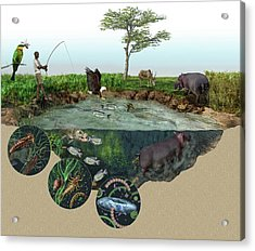 Hippopotamus Ecological Impact Acrylic Print
