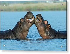 Hippopotamuses Being Affectionate Acrylic Print by Tony Camacho/science Photo Library
