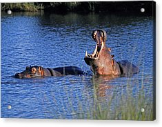 Acrylic Print featuring the photograph Hippos by Dennis Cox WorldViews