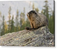 Acrylic Print featuring the photograph Hoary Marmot by Chris Scroggins