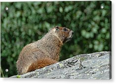 Acrylic Print featuring the photograph Hoary Marmot by Paul Miller