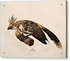 Hoatzin Acrylic Print by Rachel Root