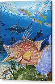 Hog Fish Spear Acrylic Print by Carey Chen