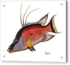 Acrylic Print featuring the painting Hogfish On White by Steve Ozment