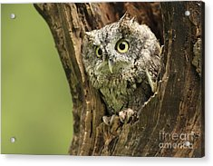 Hollow Screech- Eastern Screech Owl Acrylic Print by Inspired Nature Photography Fine Art Photography