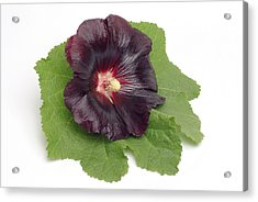 Hollyhock (alcea Rosea) Acrylic Print by Bildagentur-online/th Foto/science Photo Library