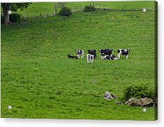 Holsteins Acrylic Print by Bill Wakeley