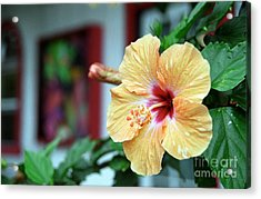 Holualoa Hibiscus Acrylic Print