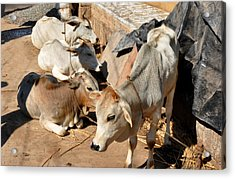 Holy Cows Odisha India Acrylic Print