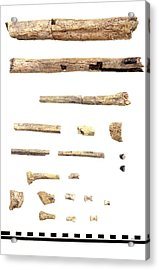Homo Skeleton Fragments Acrylic Print by John Reader/science Photo Library