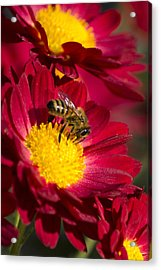 Honey Bee And Chrysanthemum Acrylic Print by Christina Rollo