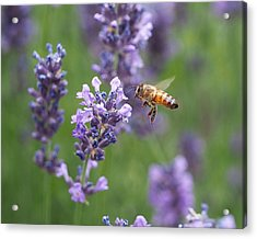 Honey Bee And Lavender Acrylic Print by Rona Black