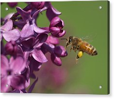 Honey Bee And Lilac Acrylic Print