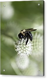 Honey Bee At Work Acrylic Print