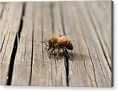 Acrylic Print featuring the photograph Honey Bee Beauty Shot by Candice Trimble