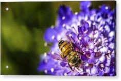 Honey Bee Acrylic Print by Caitlyn  Grasso