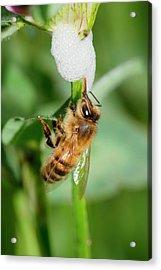 Honey Bee Drinking From Cuckoo-spit Acrylic Print