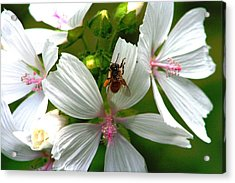 Honey Bee In The Mallow Acrylic Print
