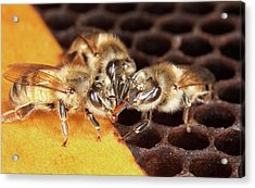 Honey Bee Mouth-to-mouth Feeding Acrylic Print by Stephen Ausmus/us Department Of Agriculture