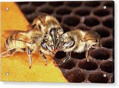 Honey Bee Mouth-to-mouth Feeding Acrylic Print