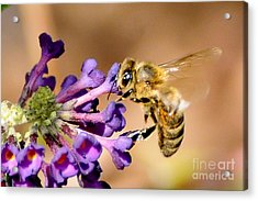 Honey Bee On Butterfly Bush Acrylic Print by Jean A Chang