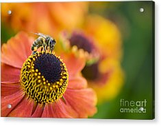 Honey Bee On Helenium Acrylic Print by Tim Gainey