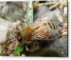 Honey Bee Acrylic Print by Pete Trenholm