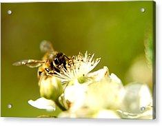 Honey Bee Two Acrylic Print by Joshua Ward