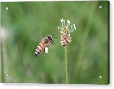 Honeybee And English Plantain Acrylic Print