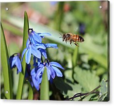Honeybee In Flight Acrylic Print