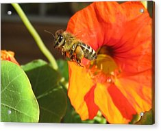 Honeybee Leaving Nasturtium With A Full Pollen Basket Acrylic Print