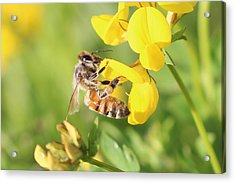 honeybee on Birdsfool Trefoil Acrylic Print