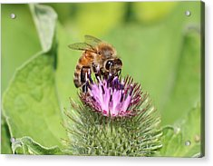 Honeybee On Burdock Acrylic Print