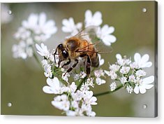 Honeybee On Cilantro Acrylic Print