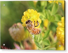 Honeybee On Hop Clover Acrylic Print