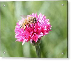 Honeybee On Pink Bachelor's Button Acrylic Print