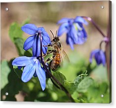 Honeybee On Siberian Squill Acrylic Print
