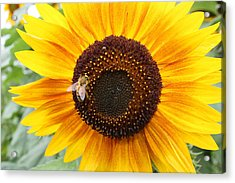 Honeybee On Small Sunflower Acrylic Print