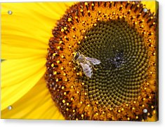 Honeybee On Sunflower Acrylic Print
