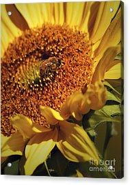 Honeybee On Sunflower Acrylic Print by Sharon Talson
