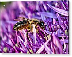 Honeybee Romping In The Garlic Acrylic Print