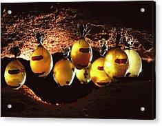 Honeypot Ants Acrylic Print by Reg Morrison