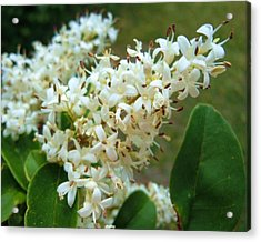 Acrylic Print featuring the photograph Honeysuckle #1 by Robert ONeil