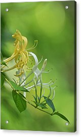 Honeysuckle Acrylic Print
