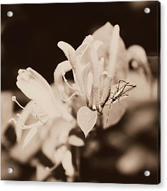 Honeysuckle Surprise Acrylic Print by Candice Trimble