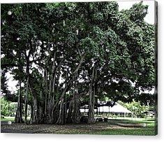 Honolulu Banyan Tree Acrylic Print by Daniel Hagerman