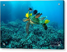 Honu Cleaning Station Acrylic Print by Aaron Whittemore