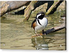 Hooded Merganser Drake Resting Acrylic Print by James Lewis