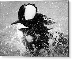 Hooded Merganser Taking A Bath Acrylic Print by Paulette Thomas