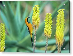 Hooded Oriole Male Feeding On A Flower Acrylic Print by Gerard Soury
